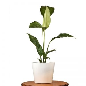 giant-peace-lily-indoor-plant
