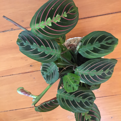 Miranta with stripes on the leaves