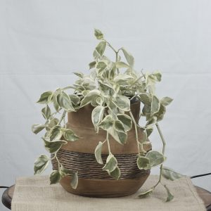 Peperomia scandens-online-plants