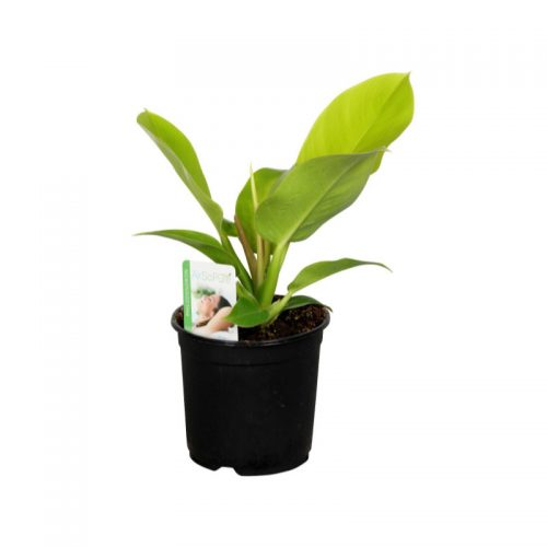 Philodendron-Lime