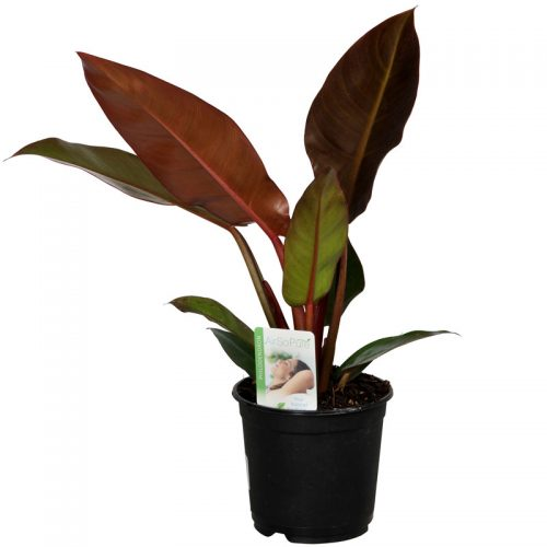 Philodendron-Sun-Red