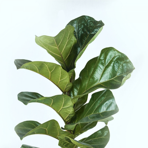 fiddle-fig-leaf