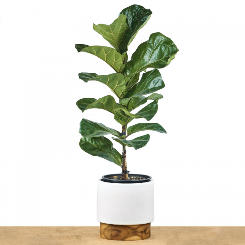 fiddle-fig-leaf-bambino
