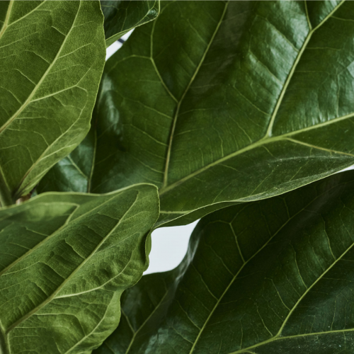 fiddle-fig-leaf-closeups
