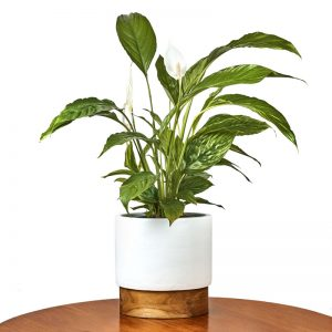 peace-lily-indoor-plant