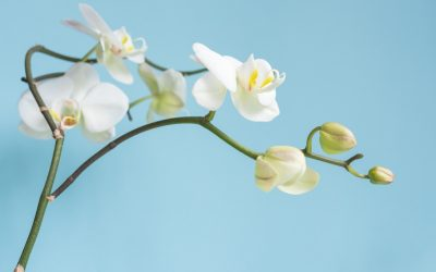 Phalaenopsis Orchid Indoor Plant Care