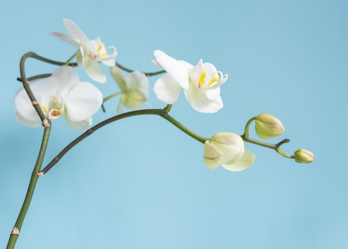 phalaenopsis-orchid-with-blue-background