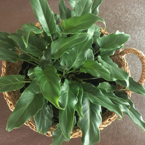 philodendron-Xandu-4-oline-plants