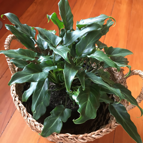 philodendron-Xandu-oline-plants