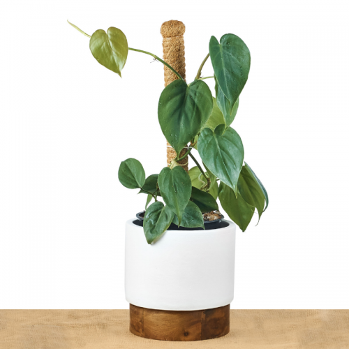 philodendron-heart-leaf-giant-leaves