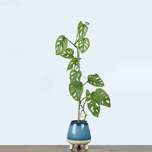 philodendron-monkey-mask-1