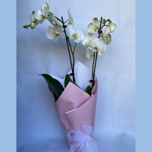 white-orchid-ver-1